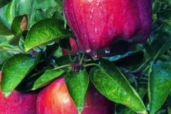 "The ""Red Delicious"" is one among many fast-growing fruit trees."