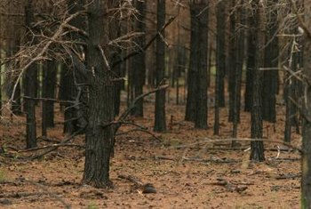 Morels find fertile ground after a forest fire.