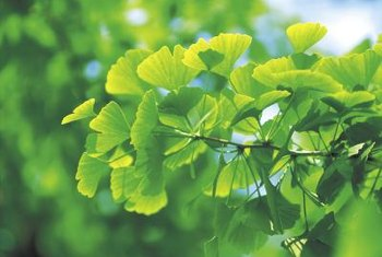 Ginkgo trees thrive in full sun to partial shade.