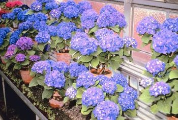 Hydrangeas grow well in sunny locations indoors.