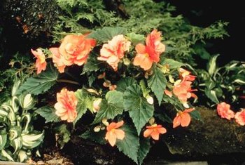 Proper care and sanitation protect begonias from gray mold disease.