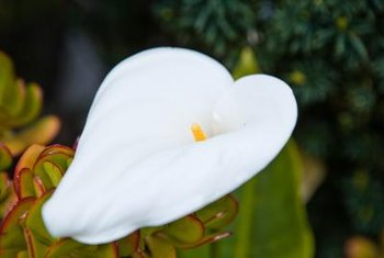 Though many calla lilies are white, they come in many other shades too.