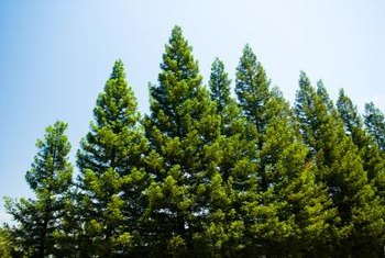 Pine trees provide shaded habitat for wildlife and birds.