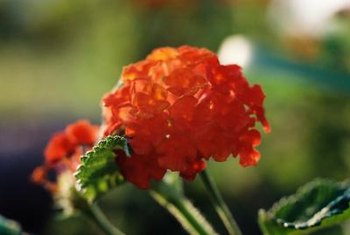 Pruning encourages the production of pink, yellow, purple or orange lantana blooms.