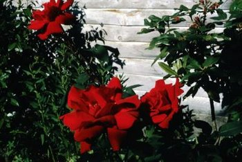 A white wall makes red roses appear brighter.