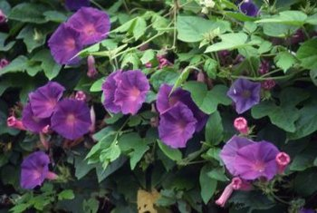 Morning glory tendrils wrap easily around thin trellis supports, such as string or wire.