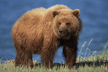Wardens may encounter a grizzly in the wild in several northern states.