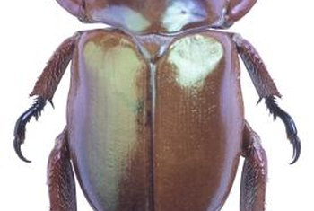 Beetles, such as masked chafers, cause lawn damage in larvae form.