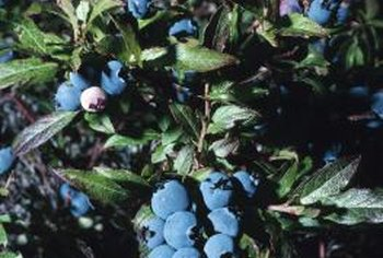 Blueberry bushes are susceptible to a variety of diseases and pests.