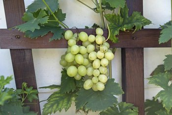 Grapevines begin to produce fruit and shade after about three years.