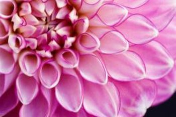 Intricate dahlia blooms provide both color and textural interest.