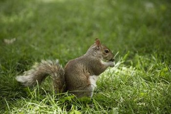 Squirrels typically forage for bulbs in the fall but will also nibble on buds and flowers in the spring.