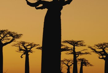 A baobab tree's massive trunk is often disproportional to the tree's crown.