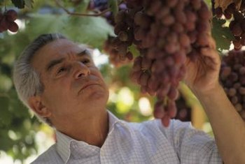 Examining the grapevines carefully for pests prevents severe infestations.
