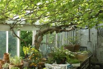 Growing a tree in your greenhouse offers interesting possibilities.