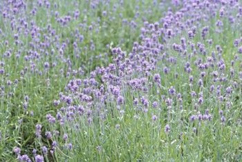 Coming from the same family as mint plants, lavender is a flowering herb with blossoms in blue, violet or lilac.