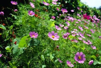 The hardy and beautiful cosmos plant blooms in many colors.