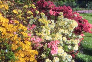 Colorful azalea bushes can grow from rooted stem sections.