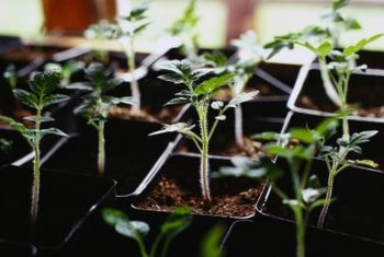 Greenhouses offer humid growing conditions that nurture newly grafted tomato plants.