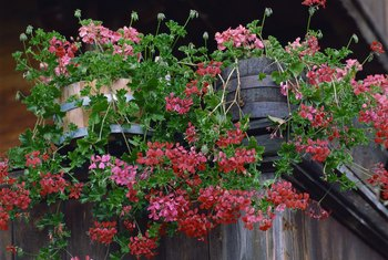 Geraniums are prolific bloomers under the right growing conditions.