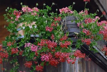 Ivy geraniums provide steady bloom in baskets and window baskets.