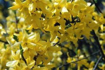Forsythias bloom early in the season.