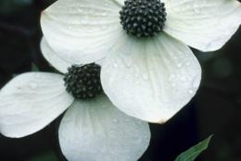 The dogwood blooms attract butterflies to your garden and landscape.