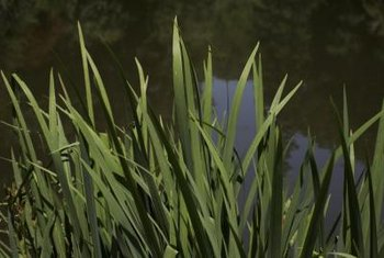 Cattails are vigorous-growing aquatic plants.