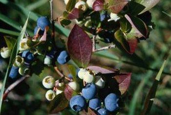 Oregon grape holly carries blue fall fruit.