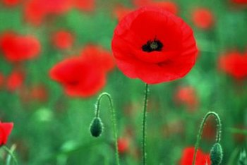 Poppies thrive in poor soil conditions.