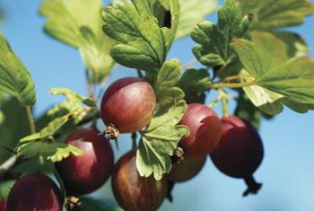 Gooseberries may be red, white, yellow or green when ready for harvest.