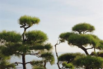Some pine trees produce interesting shapes.