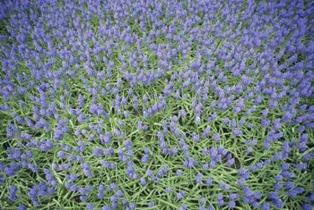 Grape hyacinths cover an area quickly.