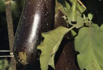 Harvest eggplant when the skin appears shiny and the fruit feels firm.