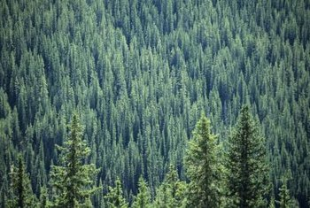 Firs and other native conifers form dense growths to protect steep hillsides.
