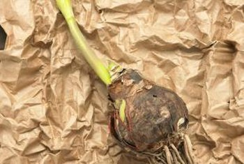 Remove any loose dirt from your flower bulbs before storing.