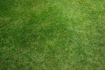Grass quickly grows over small bare patches in a new lawn.