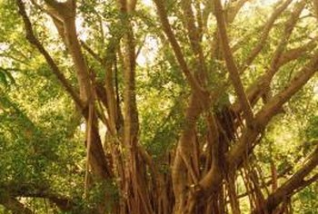 Banyan trees are fast-growing and can reach more than 100 feet tall.