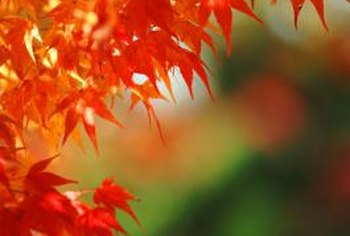 The lacy foliage of a Japanese maple turns to brilliant red in fall.