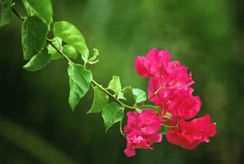 Grow the bougainvillea in full sun to discourage pests and disease.