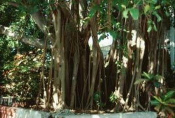 The roots of large, outdoor ficus trees can break through concrete.
