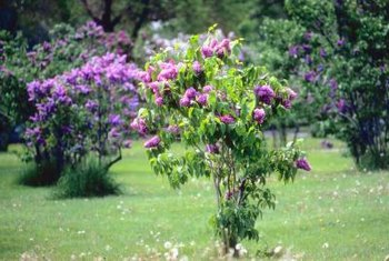Lilacs provide attractive fragrant blooms for outdoor landscapes.
