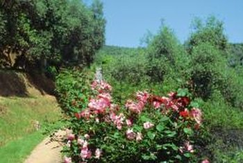Good cultural practices can discourage rose diseases.