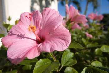 Tropical hibiscus have glossy leaves, and hardy hibiscus have dull leaves.