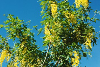 The golden yellow, pendulous flowers of golden chain trees look like wisteria blooms.