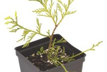 Properly potting tree seedling avoids many growing problems.