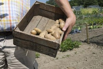 Proper preparation leads to a larger potato harvest.
