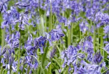 Although lavender may become infested with pests, the insects are not usually harmful to a healthy plant.