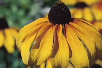 Black-eyed Susans are sometimes called coneflowers.