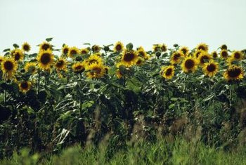 Personification is often used to give things in nature, like sunflowers, human qualities.